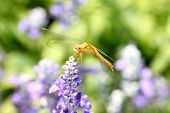 Yellow Dragonfly On Lavender Flower.