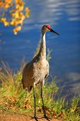 Tall Sandhill crane bird by the lake