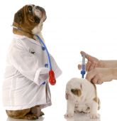 Bulldog Puppy Getting Vaccinated