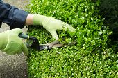 stock photo of clippers  - Horizontal photo of hands wearing gloves trimming hedges with manual shears - JPG