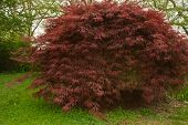 Acer  Palmatum  Red  Select