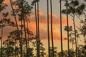 image of slash  - Sunset Through the Slash Pines in the Everglades - JPG