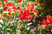 Bright Red Slightly Wilted Tulips Illuminated By Sunlight