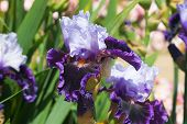 Velvety Blue Iris Flower