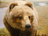 Kodiak Bear By River