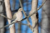 Mourning Dove In The Woods