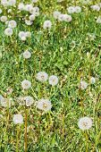 Green Meadow With Blowball Dandelions