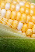 pic of corn-silk  - Yellow and white bi color sweet corn is surrounded by green husks and strands of silk - JPG