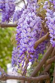 Purple Wisteria