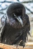 Black Bird Common Raven
