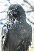 Common Or Northern Raven