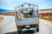Three Lamas With Traditional Ear Tags Ride In A Truck, Bolivia