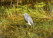 Tricolored Heron In Teh Swamp