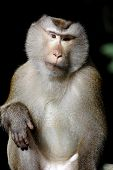 foto of macaque  - Long - JPG