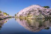 Hikone, Japan sakura cherry trees at Hikone Castle outer moat.