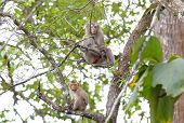 stock photo of macaque  - Long - JPG