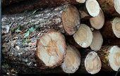 Pine trunks