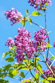 A Branch With Spring Lilac Flowers