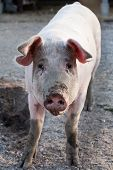 picture of animal husbandry  - funny pig standing on animal farm background - JPG
