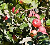 Red Apples In Orchard