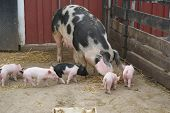 Baby piglets at a local farm