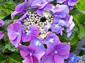 Hydrangea Plant (macrophylla Teller)