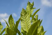Tobacco plants with large leaves.
