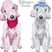Vector Dog Bedlington Terrier Breed