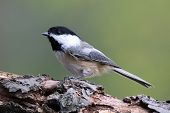picture of chickadee  - A black - JPG