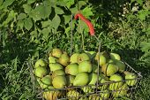 Pears In Basket On Grass