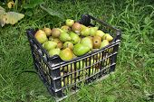 Sale Boxes With Pears