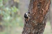 White-backed Woodpecker Looking For Beetle Larvae