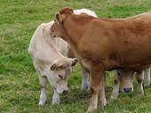 Shy Calves