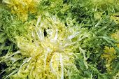 foto of escarole  - closeup of some escarole endives ready to sell - JPG