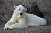 Portrait of a polar bear female resting with a graceful pose.