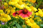 Orange And Yellow Coneflowers