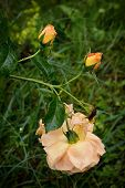 One Yellow Tea Rose, Two Buds With Drops On Its Petals And Dead Flower In The Garden