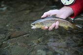 Closeup of fario trout in fisherman's hand