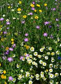 Wild Flowers in Early August England