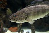 The Dusky Grouper Fish