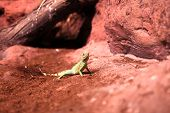 The Lizard On Red Sand