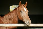 Head shot of a thoroughbred horse looking over stable door