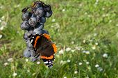Red Admiral Eating Grapes