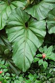 Gran árbol tropical en Coiba Panama