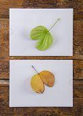 A moldered leaf facing a green leaf