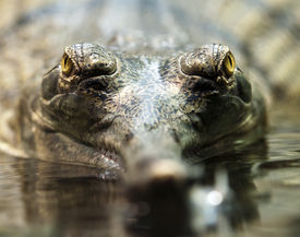 picture of crocodilian  - A closeup of gharial eyes ((called also gavial and fish-eating crocodile) ** Note: Shallow depth of field - JPG