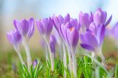 stock photo of fragile  - Fresh fragile beautiful first spring crocus blossoming pastel flowers on sunlit Alpine glade - JPG
