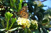 foto of monarch  - A Monarch Butterfly resting on a blossom - JPG
