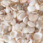 image of shells  - Shells background many simple small shells white - JPG