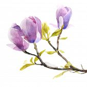 picture of magnolia  - Watercolor magnolia flowers on white background - JPG